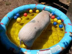 Kiddy Pool: Pools are GREAT! Inflatable pools or hard plastic pools work unless your pig is a destructor. Many vegetables will float in the water. This is a great way to introduce your pig to the pool(Cool Pools Mom) This Little Piggy, Little Pigs, Happy Animals, Zoo Animals, Micro Piglets, Kiddy Pool, Pig Ideas, Pet Ramp, Pot Belly Pigs