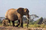 <h5>ELE_0296</h5><p>Elephant d'Afrique / Loxodonta africana / African elephant _ Parc National de Samburu, Kenya, Afrique du Sud</p>