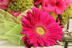 hot pink gerbera flower