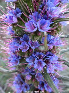 Echium.  A beautiful shade of blue.
