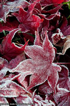 Frost-lace red leaves.