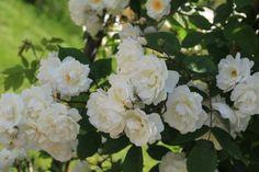 Rosa multiflora-Hybride 'Gruss an Zabern' (Peter Lambert 1903) blüht nur einmal im Jahr aber überreich. Ihre mittelgrossen gefüllten Blüten in Reinweiss mit sichtbaren Staubgefässen verströmen einen würzigen Duft. Sie erscheinen in Büscheln an einem kräftig wachsenden Strauch mit 300 - 400 cm Durchmesser. Das Detail-Bild aus dem Roseto Fineschi in Cavriglia verdanken wir Marian Soltys.