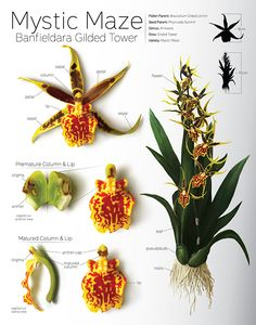 Mystic Maze: Banfieldara Gilded Tower Orchid Plate on Behance