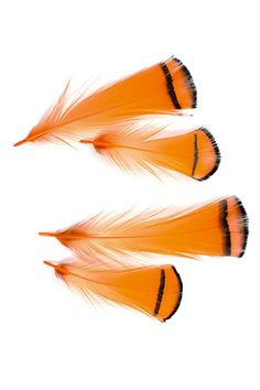 """6-8/"""" Lady Amherst Pheasant Tail Feathers-Marron à rayures rouge//orange Tipped"""