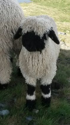 Baby Sheep, Cute Sheep, Sheep Farm, Rare Animals, Happy Animals, Animals And Pets, Wild Animals, Beautiful Creatures, Animals Beautiful