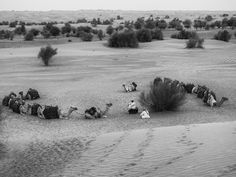 Animals of Dubai 3.  The camel train taking a well earned rest after hauling me and my fellow travellers across the desert.  Dubai, UAE. Words & Image: © Gary Light (2017). Creative Commons: (CC BY-NC-ND 4.0).  #photography #travel #blackandwhite #dubai #animals