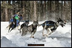 Image detail for -Dog Sled Racing in Upper Michigan ~ UP200 and Kinross sled dog races #puremichigan