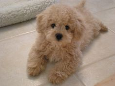 Lhasapoo, MyOodle, My Oodle, Oodle, Doodle, Dog, Poodle, Poodle Mix, Poodle Hybrid pinned by myoodle.com