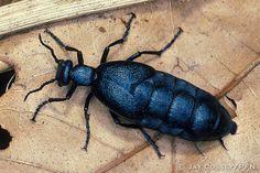 American Oil beetle, aka Short-Winged Blister beetle (Meloe americanus)