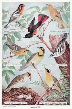 """""""Songsters"""" 8 colorful songbirds, public domain. Copyright 1917."""