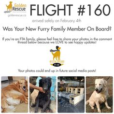 We love receiving happy updates from our adopters! A few days ago Flight 160 made the long journey from Cairo to Toronto and some very precious Goldens were welcomed in to the loving arms of their new FTA families. If your newest furry family member arrived on Flight 160, please feel free to share some updates and photos with us so we can use them for future social media posts. Thank you and congratulations! #rescuedogs #adoptdontshop #rescuemissionoflove The Longest Journey, Cairo, Our Love, Rescue Dogs, Toronto, Families, Congratulations, Arms, Social Media
