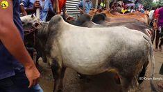 সিরাজগঞ্জের কামারখন্দ হাটে কোরবানীর ছোট ষাঁড় গরুর দাম | গরুর ক্রেতা নাই