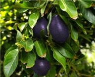 Cold Hardy Avocado Trees are the Perfect Patio Plant, growing indoors or out. They reportedly withstand temperatures down to 18F. You get a lot of Avocados to eat and share.