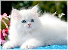 Loooove fluffy white cats!!!