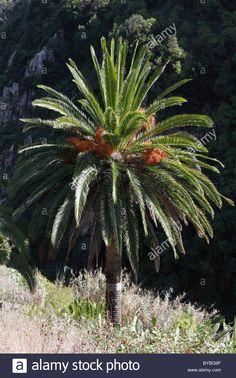 canary-island-date-palm-phoenix-canariensis-la-gomera-island-canary-BYBG9F.jpg…