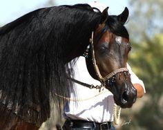 Selket Marque a Marwan Al Shaqab Son, Gazal Al Shaqab son Grandson :: Arabian Horses of Stonewall Farm