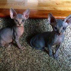 Dark Sphynx kittens, hairless cats    (via dani_shaisphynx Instagram)