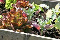 Salat kann gut zu anderen Kulturen gepflanzt werden. Gute Nachbarn sind alle Kohlgemüse, außerdem Radieschen, Spinat, Zwiebeln und Möhren