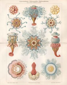 c1890 Ernst Haeckel Marine Sea JELLYFISH MEDUSA Antique Chromolithograph Print