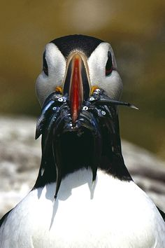 Puffin by Tim Tapley