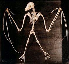 A skeleton of a bat. five fingers, five toes. Bat Skeleton, Skeleton Bones, Skull And Bones, Skeleton Makeup, Skull Makeup, Animal Skeletons, Animal Skulls, Crane, Bat Species