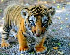 This adorable tiger cub. Cute Tiger Cubs, Cute Tigers, Cute Baby Animals, Animals And Pets, Wild Animals, Tigre Animal, Art Tigre, Animal Pictures, Cute Pictures