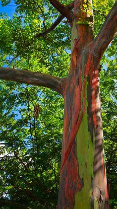 Rainbow Eucalyptus by David Barrow, via Flickr