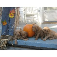 Labradoodles. The cutest things ever.