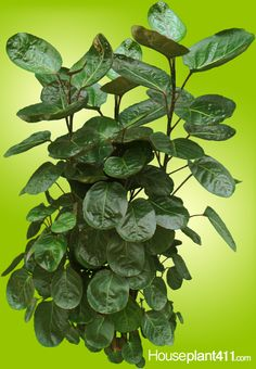 Balfour Aralia - How to Grow Care Advice Indoor Trees, Indoor Plants, Bonsai Plants, Garden Plants, How To Grow Bonsai, Low Light Plants, Plant Diseases, Poisonous Plants, Plant Identification