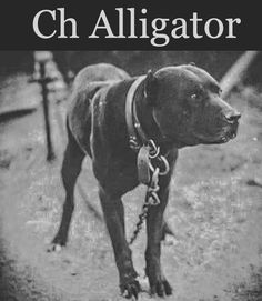 46 Best Gamedogs images in 2015 | Dogs, Pitbulls, Pitbull