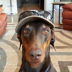 Ready to go to the beach #Doberman