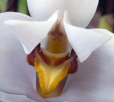 Macro of Maxillaria grandiflora - Flickr - Photo Sharing!