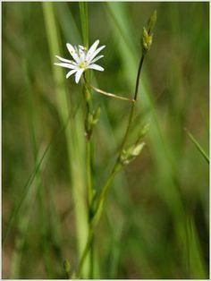 Pázsitos csillaghúr (Stellaria graminea) | Növényhatározó