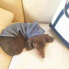 . . 明日から仕事始め🙋🏻 年末年始のお休み中にお買い求めくださったお客様へのご連絡等順次始めてまいりますので、どうぞよろしくお願い申し上げます🙇🏻 . .  #dogs #dog #miniaturedachshund #doxy #dachshund #dogsofinstagram #わんこ #愛犬 #ミニチュアダックスフンド #ミニチュアダックスフント #ダックス #llbean #短足部 #エルエルビーン #like4like #Mダックス #like  #ig_dogphoto #パーカー #dogstagram #pet #petstagram #犬服 #dogwear #dog_of_instagram