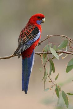 Crimson Rosella - Platycercus elegans, is a parrot native to southeastern Australia. Throughout its range, the Crimson Rosella is commonly associated with tall eucalypt and wetter forests. Photo by Simon Bennett. Pretty Birds, Beautiful Birds, Animals Beautiful, Cute Animals, All Birds, Little Birds, Exotic Birds, Colorful Birds, Australian Parrots