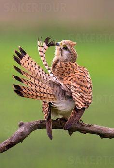 female kestrel preening - 31/08/2015