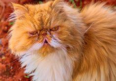 D90Tamron 042fused_lzn   Jinx persian male   Dirk De Lange   Flickr