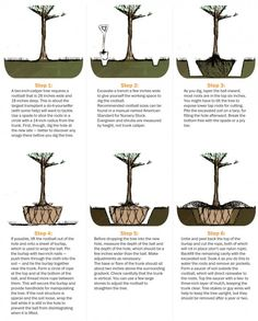How to transplant a tree - The Washington Post