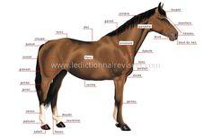 L'anatomie du cheval dans son ensemble - Hippologie.fr ...