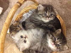 #persian kittens #kittens #cats #Beautiful Persian kittens!!!