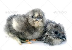 Realistic Graphic DOWNLOAD (.ai, .psd) :: http://jquery.re/pinterest-itmid-1006649795i.html ... young chick ...  Bantam, Silkie, Silkie bantam, Young Bird, animal, baby, bird, chick, chicken, cute, farm, fluffy, gray araucauna, isolated, little, new born, pets, poultry, rooster, rural, studio, two, white, white background, young  ... Realistic Photo Graphic Print Obejct Business Web Elements Illustration Design Templates ... DOWNLOAD :: http://jquery.re/pinterest-itmid-1006649795i.html
