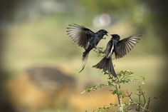 ♥ The Drongo Love ♥ Happy Valentine's Day ♥ #photo #nature