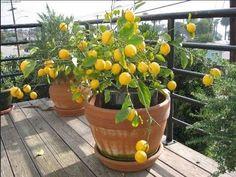Как вырастить комнатный лимон в домашних условиях? Комнатный лимон: уход, размножение, болезни, лечение, вредители и сорта. Как вырастить дерево комнатного лимона из косточки, как привить? Какой грунт, чем подкармливать, как обрезать, можно ли высадить на улицу?