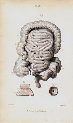 1843 Antique bizarre ANATOMY print, GUTS, innards, casings, entrails, tripes, bowels, original antique 170 years old print