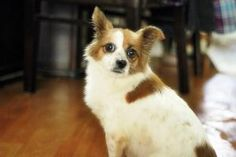 Daizy is an adoptable Papillon Dog in Los Angeles, CA. Daizy was a stray dog that came into Dong-Hae City animal shelter (non-kill) in South Korea. After spending a few months at the shelter, she is n...