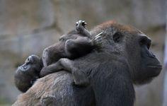 Gorilla #yoga. Namaste. photo: Lisa Sarto