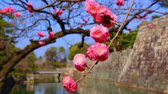 京都 宮二条城 梅の花 Japan,Kyoto,Nijo-ji Castle,plum blossom