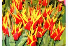 Parrot tulips are astounding in their range of colours and feathery petals.