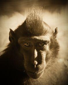 https://flic.kr/p/rMBJpN |  Nanas - Sulawesi Crested Black Macaque @ Durrell Wildlife Conservation Trust