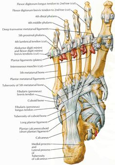 ligaments and tendons of foot netter